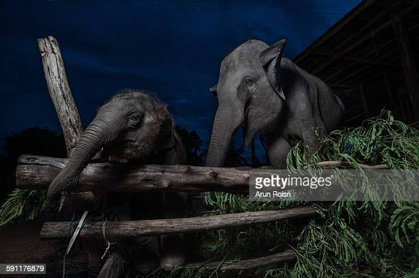Asian elephant and her calf