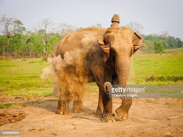 asian elephant at chitwan, nepal - terai stock pictures, royalty-free photos & images