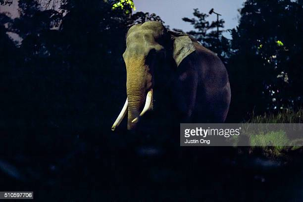 asian elephant at night - night safari stock pictures, royalty-free photos & images