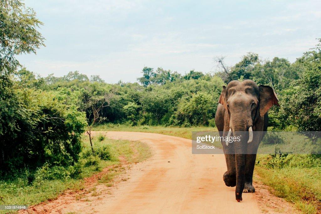 Asian Elephant at Yala National Park, Sri Lanka : Stock Photo