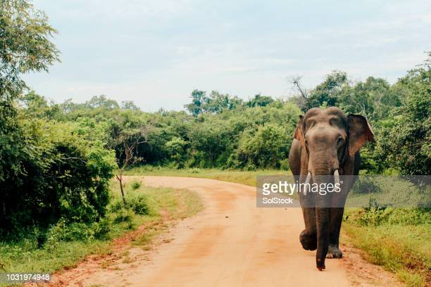 asian elephant at yala national park, sri lanka - indian elephant stock pictures, royalty-free photos & images
