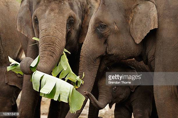 Asian Elephant calf Luk Chai eats some banana leaves with the herd during a celebration marking his first birthday at Taronga Zoo on July 4 2010 in...