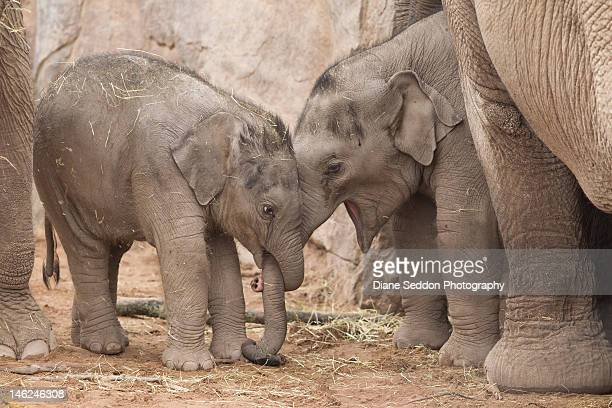 Asian elephant calf squeezes trunk