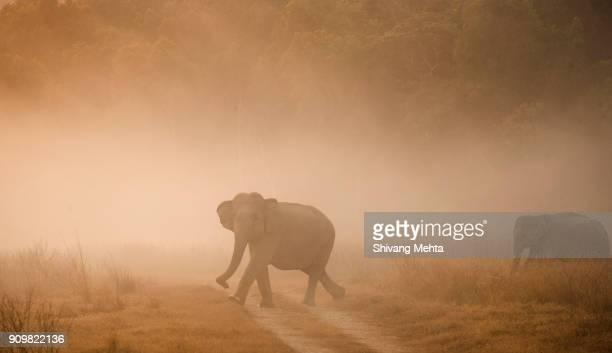 Asian Elephant during sunrise in India