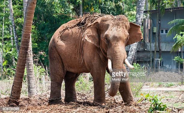 asian elephant -elephas maximus-, kerala, india - kerala elephants stock pictures, royalty-free photos & images