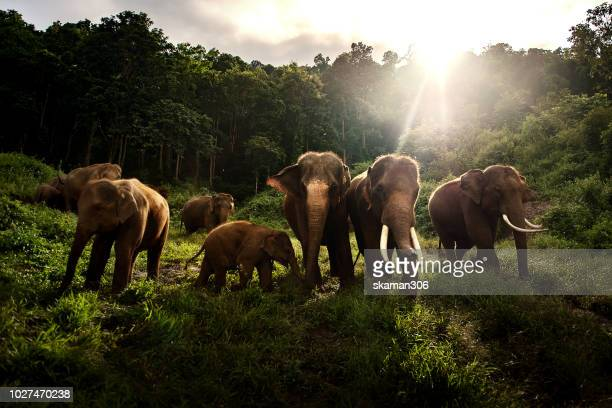 asian elephant herd eating green grass in the wild - animales salvajes fotografías e imágenes de stock
