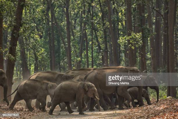 Asian Elephant in Corbett National Park