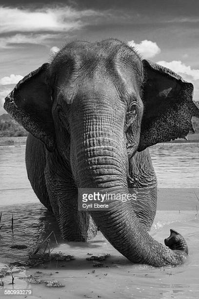 Asian elephant in lake