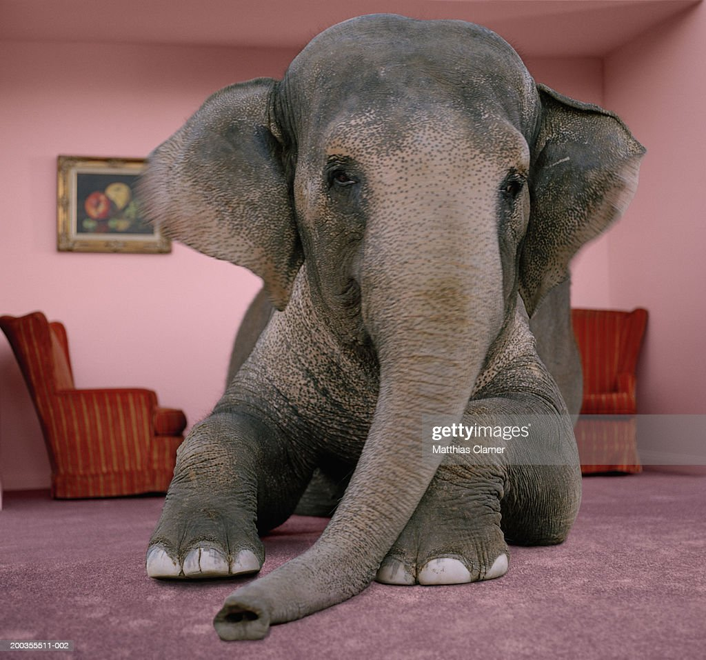 Asian elephant in lying on rug in living room : Stock Photo