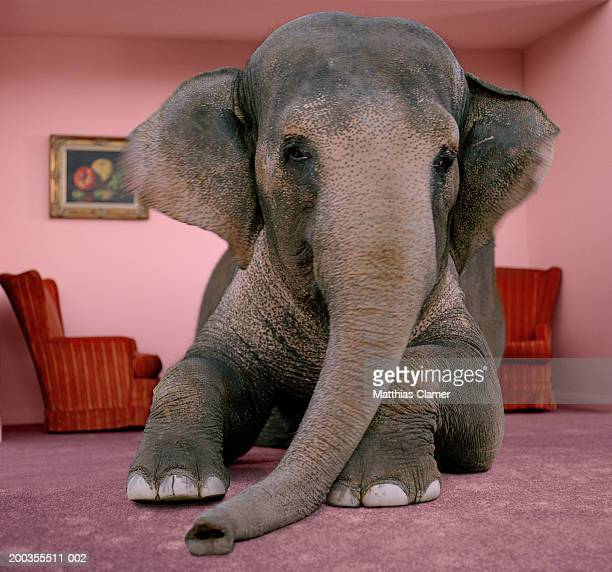 asian elephant in lying on rug in living room - elephant stock pictures, royalty-free photos & images