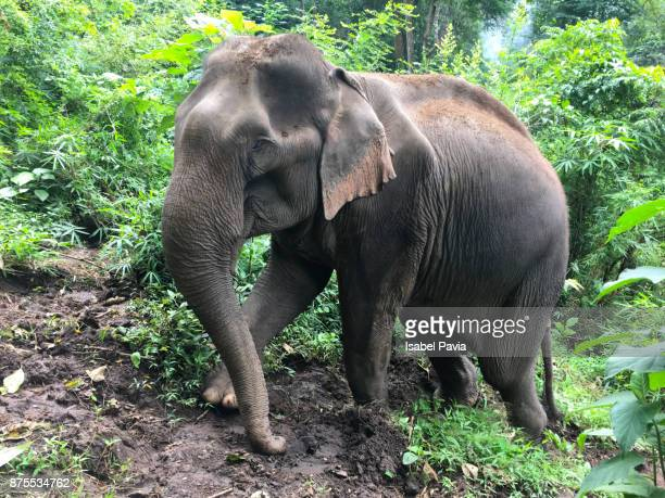 Asian Elephant in rainforest vegetation, Thailand