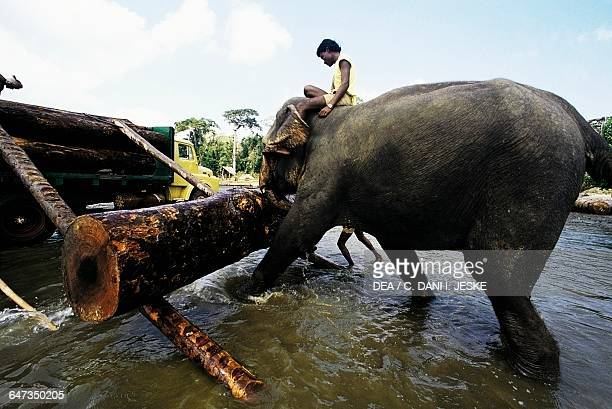Asian elephant lifting a trunk with its trunk Andaman Islands India