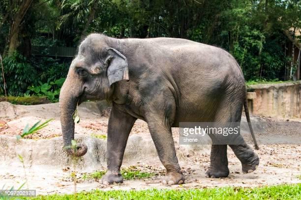 asian elephant - elefantiasis fotografías e imágenes de stock