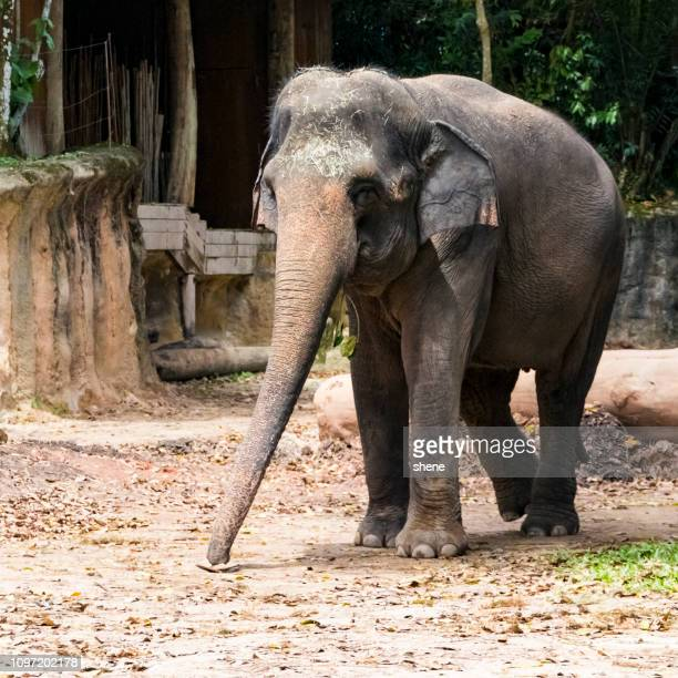 asian elephant - elephantiasis stock pictures, royalty-free photos & images