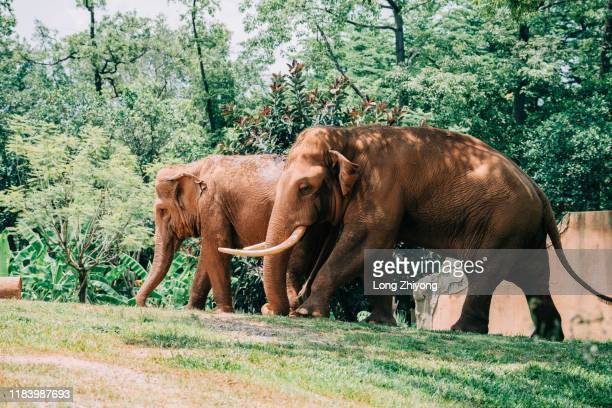 asian elephant - indian elephant stock pictures, royalty-free photos & images
