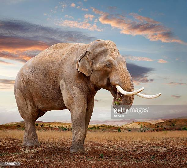 asian elephant - one animal stock photos and pictures