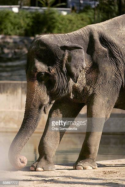 Asian elephant Toni , who is afflicted with arthritis, stands at the National Zoo September 1 in Washington, DC. Toni, one of two older female Asian...
