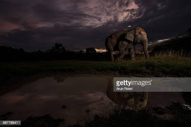 Asian elephant with a reflection on the water