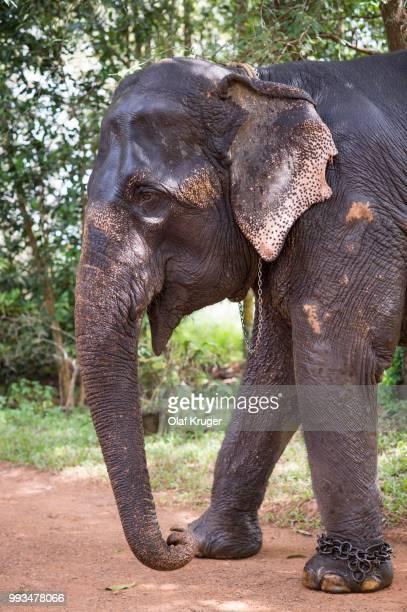 asian elephant (elephas maximus), working elephant, kerala, india - kerala elephants stock pictures, royalty-free photos & images