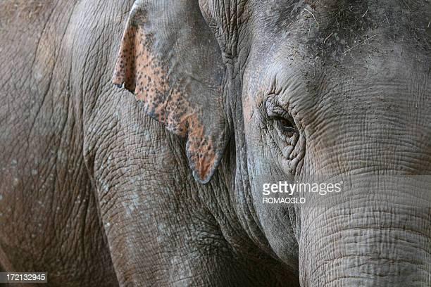 Asian Elephant's eye