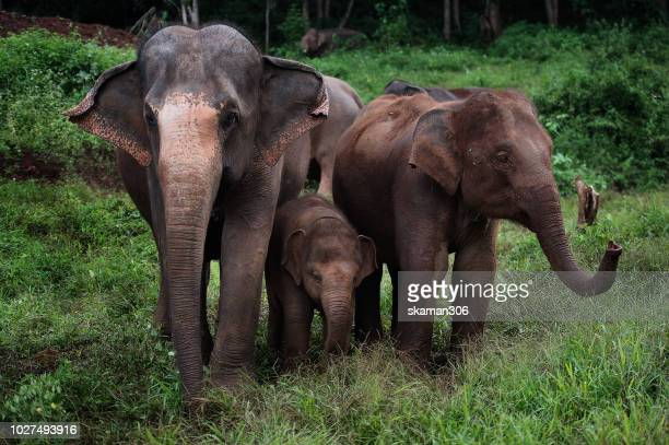 asian elephants herd in the rain forest at chiangmai northern thailand - asian elephant stock pictures, royalty-free photos & images
