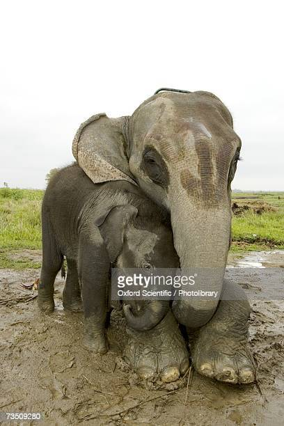 Asian Elephants (Elephas maximus), mother and calf, Kaziranga National Park, Assam, India