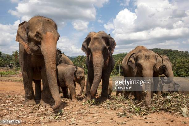 asian elephants (elephas maximus), pinnawala elephant orphanage, pinnawala, central province, sri lanka - harry herd stock pictures, royalty-free photos & images