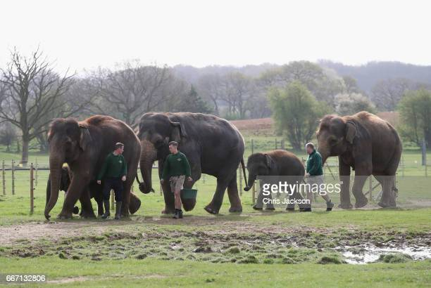 Asian elephants walk in the paddock ahead of the Queen and Duke of Edinburgh's visit to ZSL Whipsnade Zoo at the Elephant Centre on April 11 2017 in...