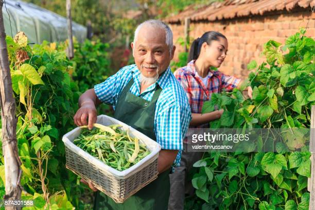 asian farm workers harvesting green beans - bush bean stock photos and pictures