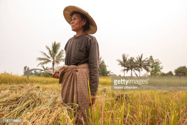 asian farmer harvesting rice in countryside thailand - thai ethnicity stock pictures, royalty-free photos & images
