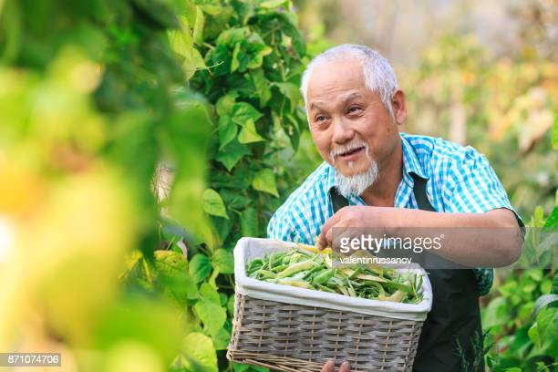 asian farmer holding basket with green beans - bush bean stock photos and pictures