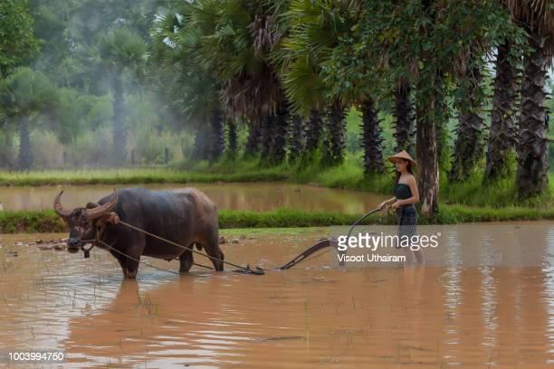asian farmer in countryside using the buffalo to plowing for rice plant - parto natural imagens e fotografias de stock