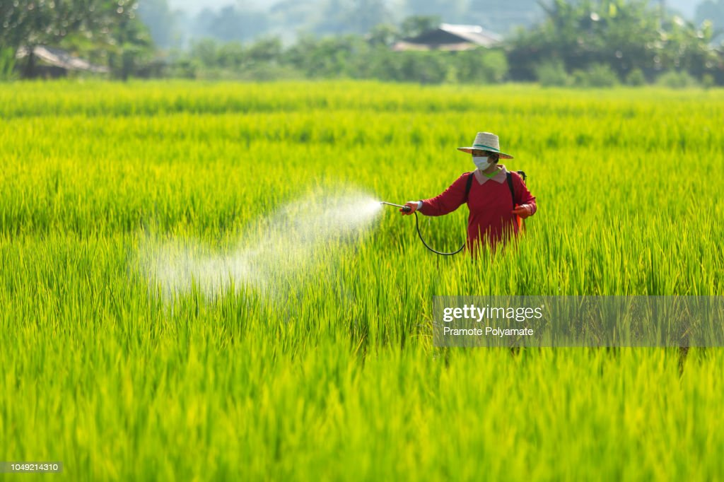 Asian farmer peasantry spraying pesticides in rice fields : Stock Photo