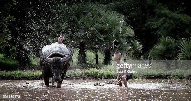asian farmer - asian ox imagens e fotografias de stock