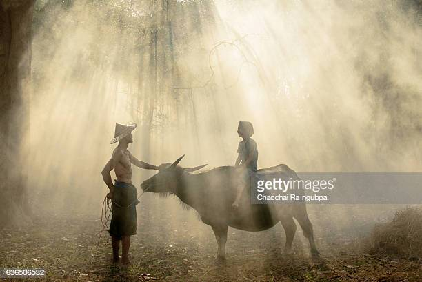 asian farmer - wild cattle stock photos and pictures
