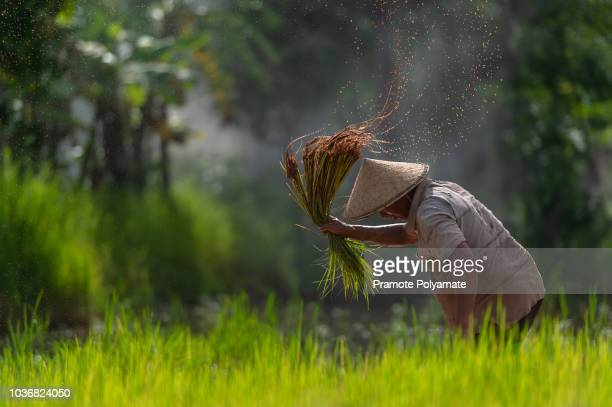 asian farmer transplant rice seedlings in rice field, farmer planting rice in the rainy season. - paddy field stock pictures, royalty-free photos & images
