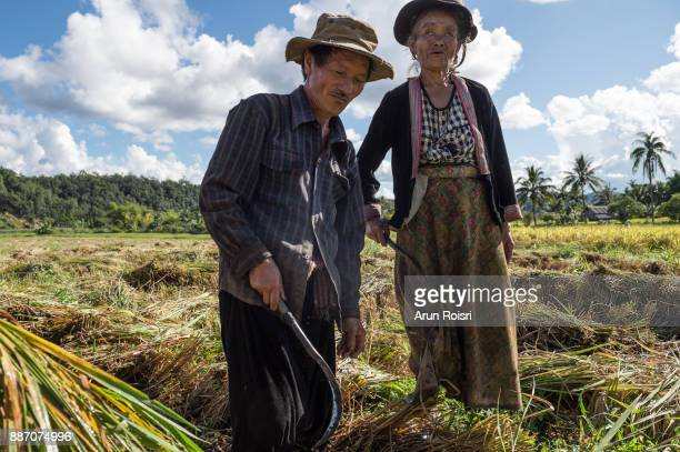 Asian farmers harvest rice in the paddy field of Muang Pon, Mae Hong Son, Thailand