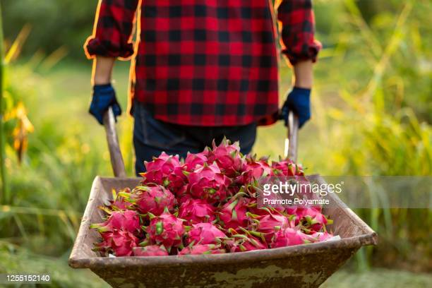 asian farmers with trolley the dragon fruit in the garden - dragon fruit stock pictures, royalty-free photos & images