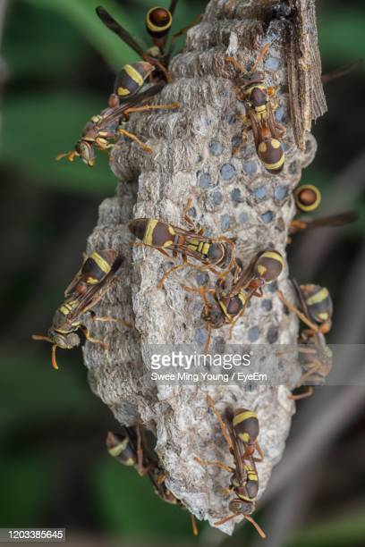asian giant hornet - murder hornet stock pictures, royalty-free photos & images