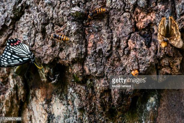 asian giant hornet - asian giant hornet stock pictures, royalty-free photos & images