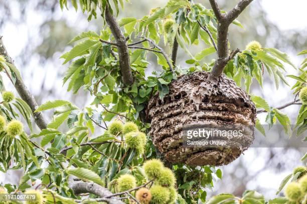 asian hornet nest - nido di vespe foto e immagini stock