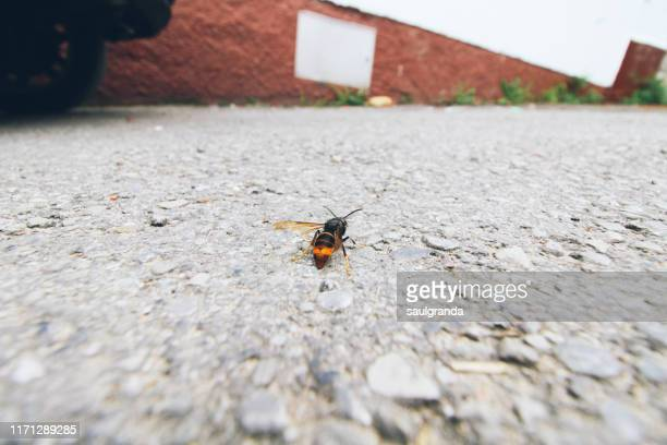 asian hornet (vespa velutina) on the asphalt - exotic_species stock pictures, royalty-free photos & images