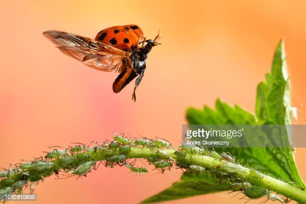 asian lady beetle (harmonia axyridis), in flight, aphids, germany - aphid stock pictures, royalty-free photos & images