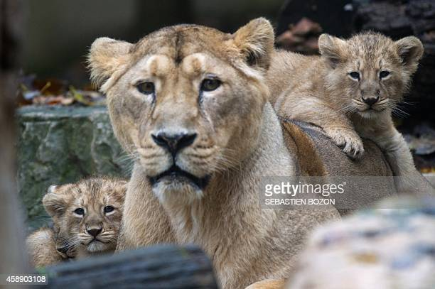 Asian lion cubs stand next to their mother Sita, on November 13 at the zoo, in Mulhouse, eastern France. Four Asian lion cubs were born in captivity...