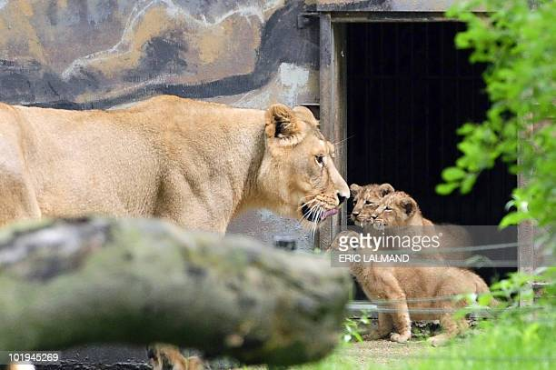 Asian lioness Koyla and her five lion cubs are presented at the Planckendael zoo in Mechelen, on June 10, 2010. Eight weeks ago, Koyla gave birth to...