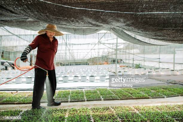 asian male farmer watering plant nursery in greenhouse - environmental issues stock pictures, royalty-free photos & images