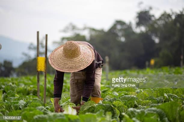 agricoltori asiatici maschi che raccolgono cavoli appena raccolti nel campo di cavoli - cavolo cappuccio verde foto e immagini stock