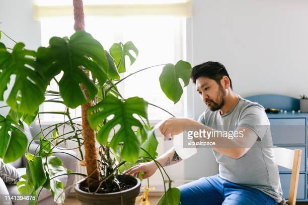 自家製モンステラ植物のためのアジア人の世話 - 趣味 ストックフォトと画像