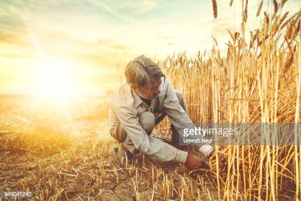 asian man cutting wheat with sickle - scythe stock photos and pictures