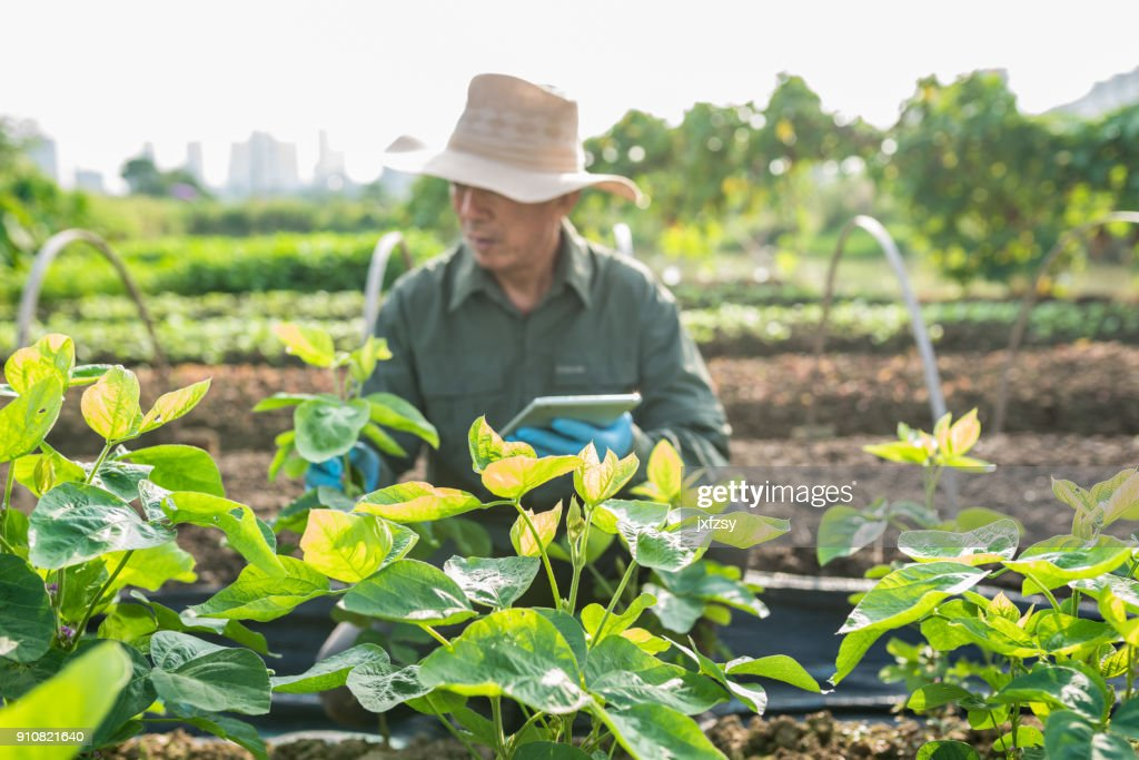 Asian old farmer checking soy bean field : Stock Photo